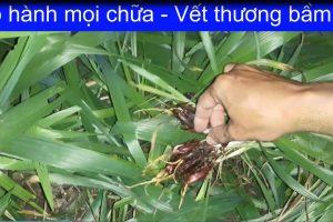 Hanh moi sam dai hanh chua benh viem hong hat